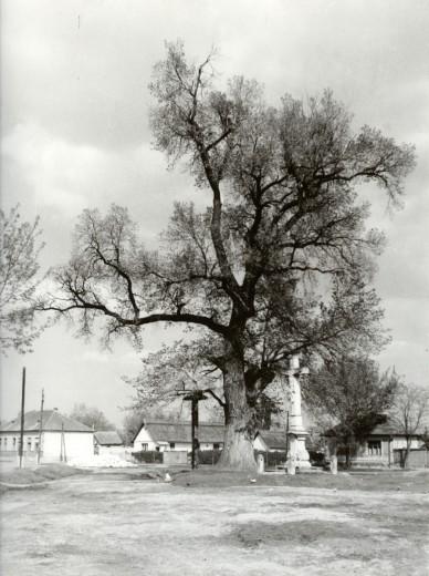 """A """"Rákóczi - fája"""" a """"K. A."""" kőkereszttel és a haranglábbal - 1959. május"""